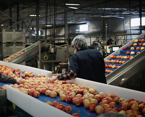 A quality control grader is sorting through apples coming down a factory line in Algoma Orchards packing plant