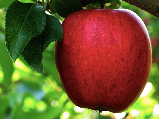 A red apple with 2 green leaves hanging from an apple tree