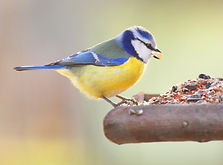 «Прилетайте, птички - воробьи, синички»