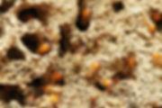 Termites.jpg