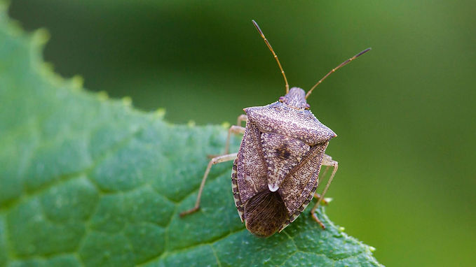 stink bug control in cleveland