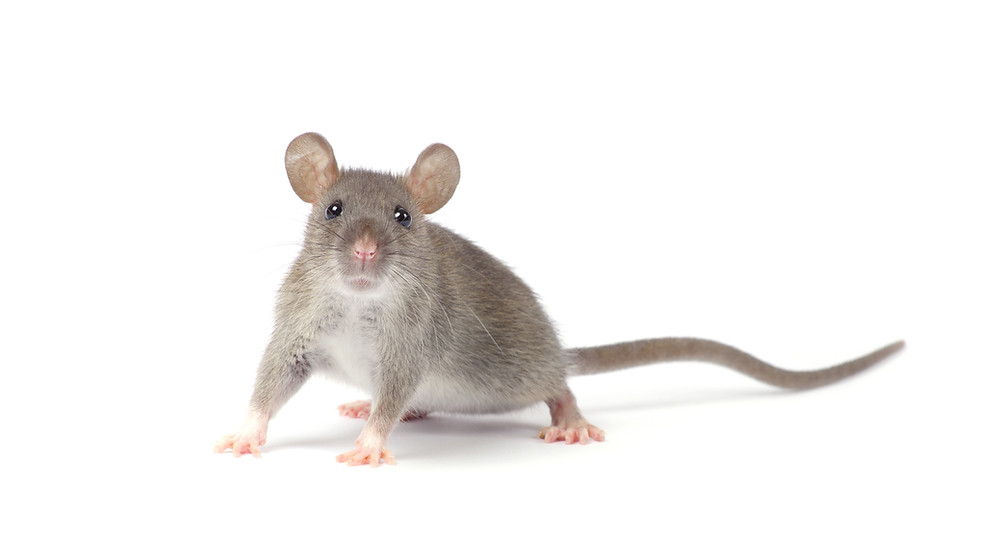 Getting Rid of House Mouse Pests in Delrey Beach, FL