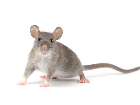 How Many Mice is Considered an Infestation? Getting Rid of House Mouse Pests in Delrey Beach, FL