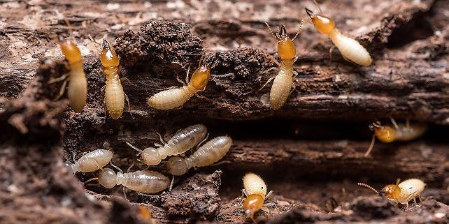 subteranium termites.jpg