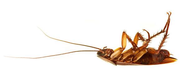 pest control dead cockroach