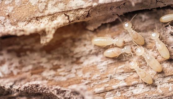 Drywood-Termite.jpeg