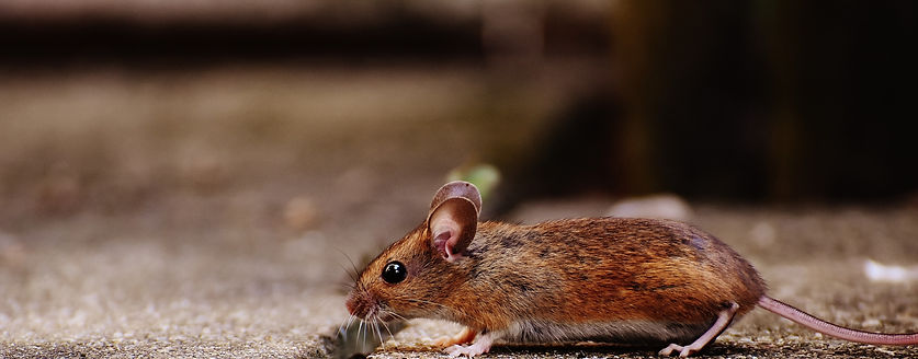 Rodent control and mouse control in Spanish Fork