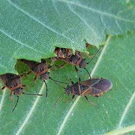 Elm seed bugs in Spanish Fork
