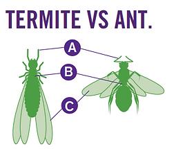 termite vs. ant