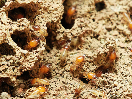 Termite Control; How to Avoid & Get Rid of Swarming, Flying Subterranean Termites