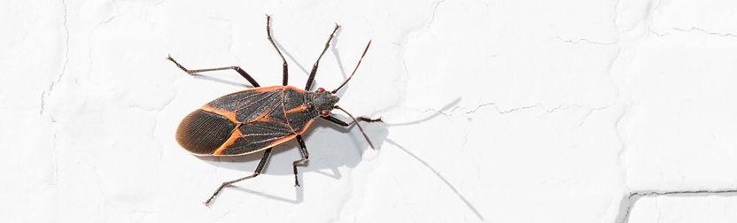 Boxelder bugs in Spanish Fork
