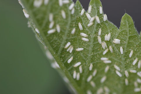 WHITEFLY_edited.jpg
