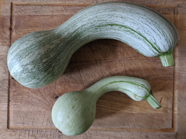 The squash that swallowed my community garden plot