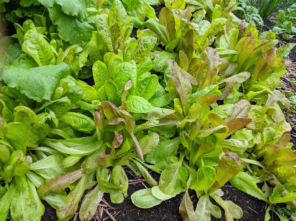 Lettuce failures and better alternatives
