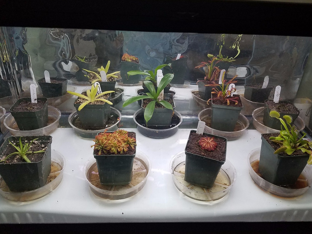 Tropical carnivore terrarium in my living room