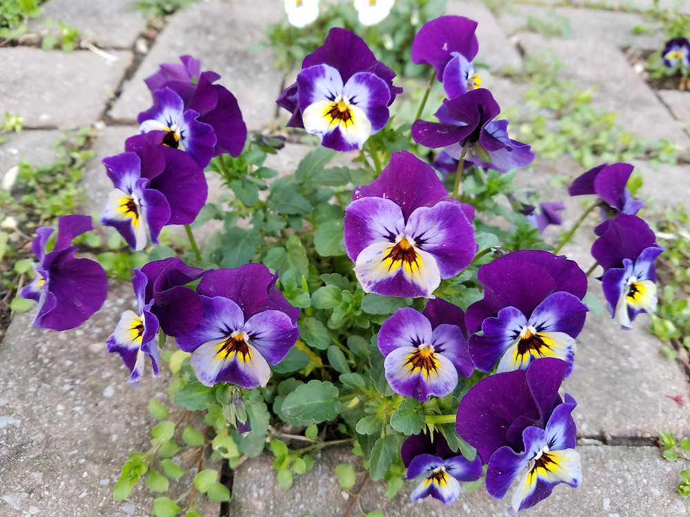 Viola flowers are edible
