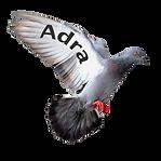 Alys Conran Pigeon
