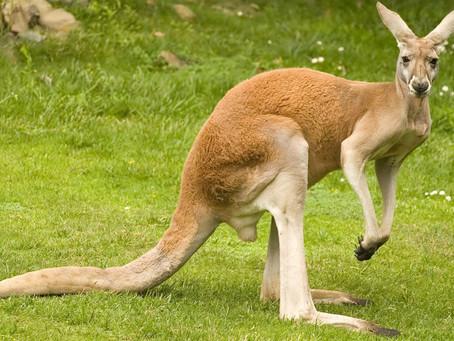 Instagram Hashtags on Kangaroo:-