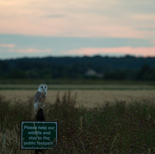 Barn Owl Message