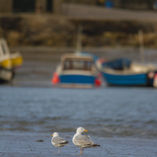 Seaside Seagulls
