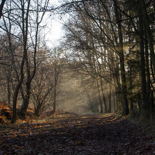 Woodland Rays