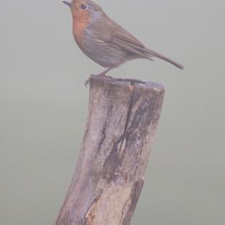 Foggy Robin