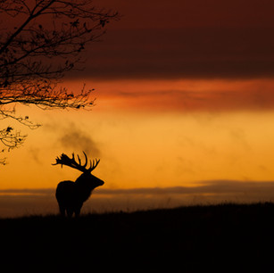 Deer Sunset Silhouette