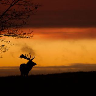 Deer Sunset Silhouette