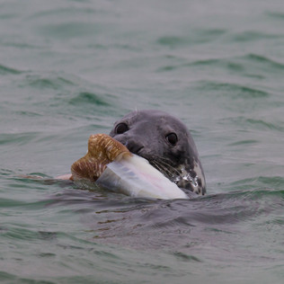 Seal With Dinner