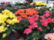 Begonias_edited.jpg