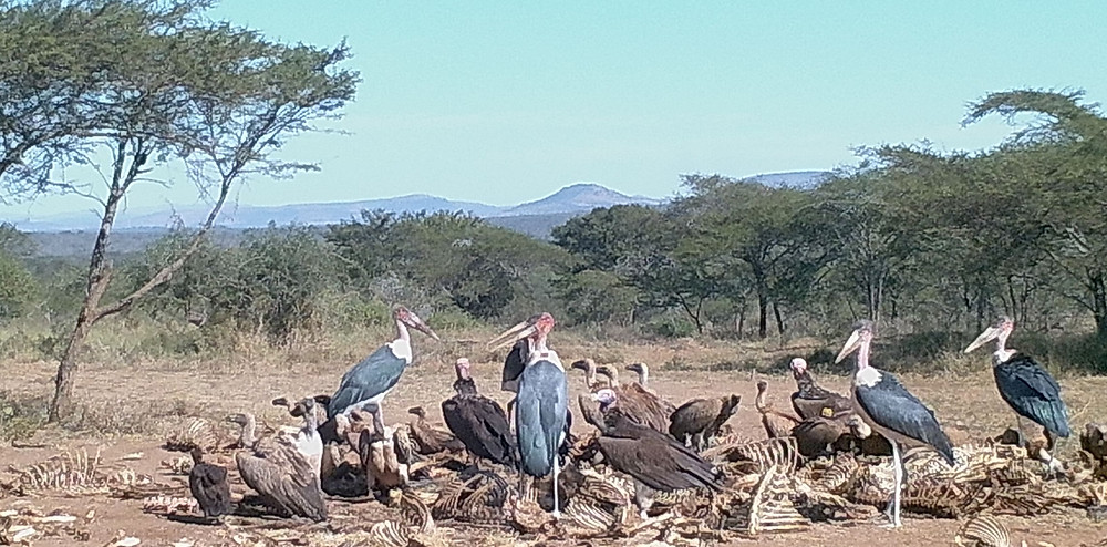 Group of white backed vultures and Marabou Storks