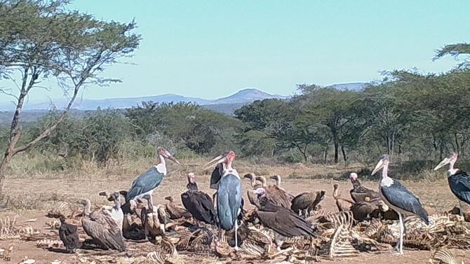 Vulture & Marabou Feeding Site @ Belvedere.