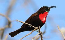 Scarlet-chested_sunbird,_Chalcomitra_sen