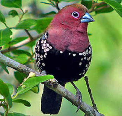 Pink-throated Twinspot.jpg