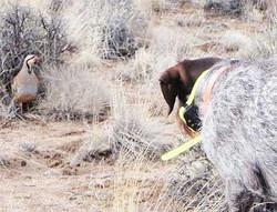 brid-dog-hunting