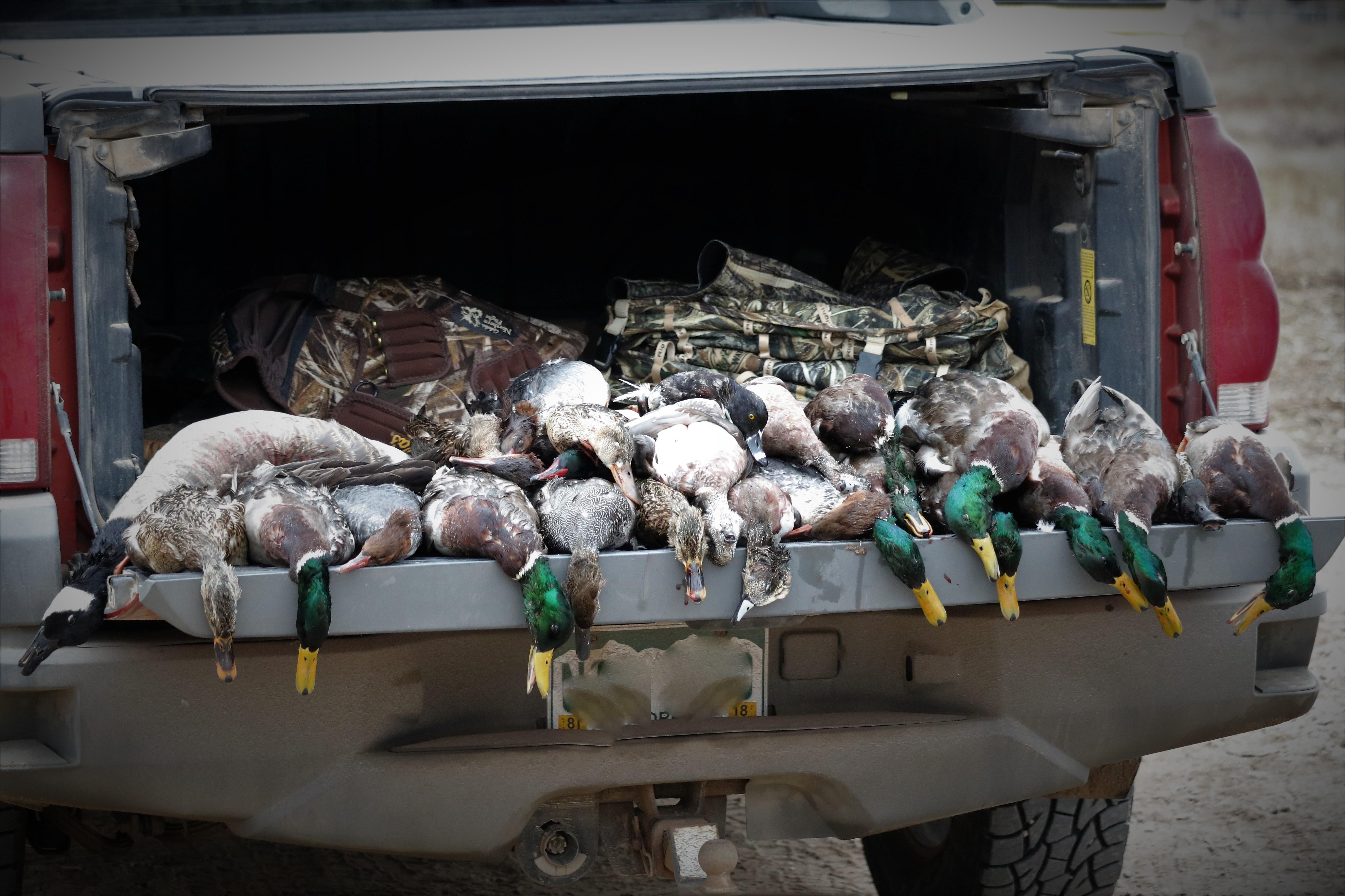 A Truckload of Ducks