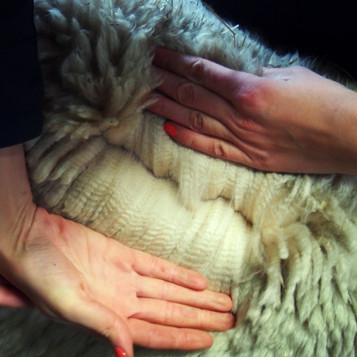 Poznajemy hodowle alpak w Niemczech.