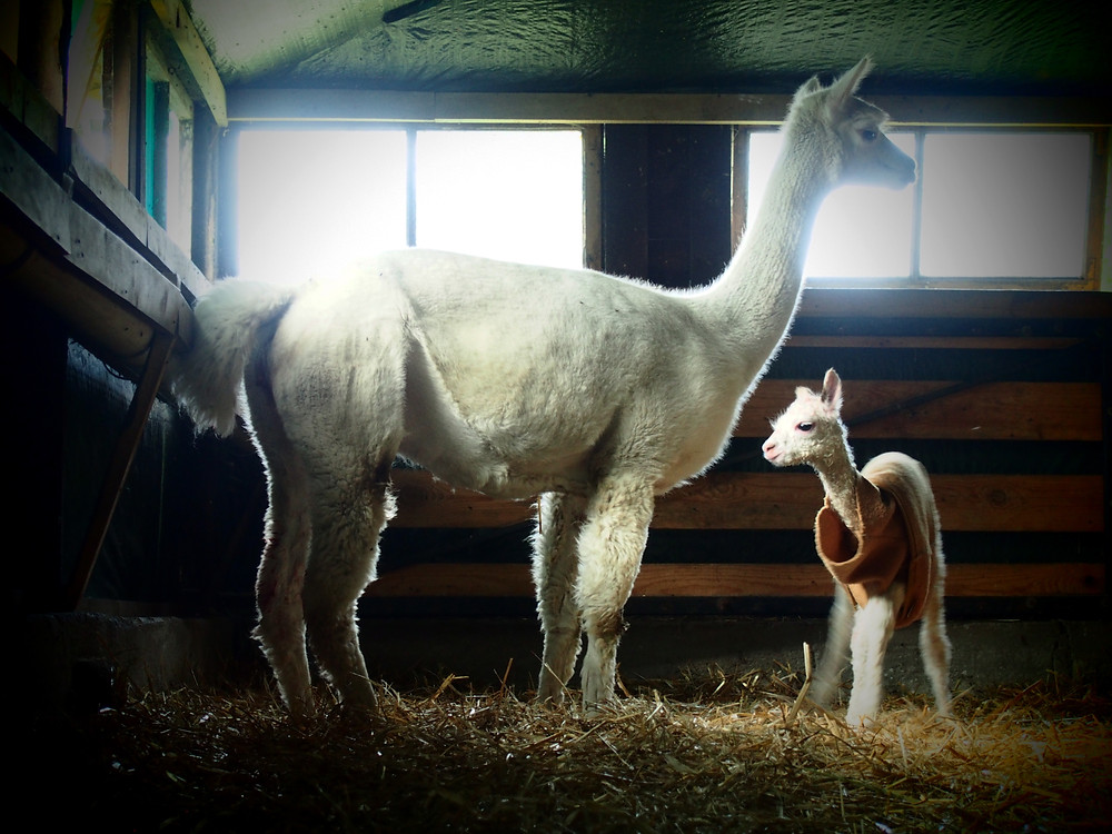 alpaki z hodowli Alpakarium