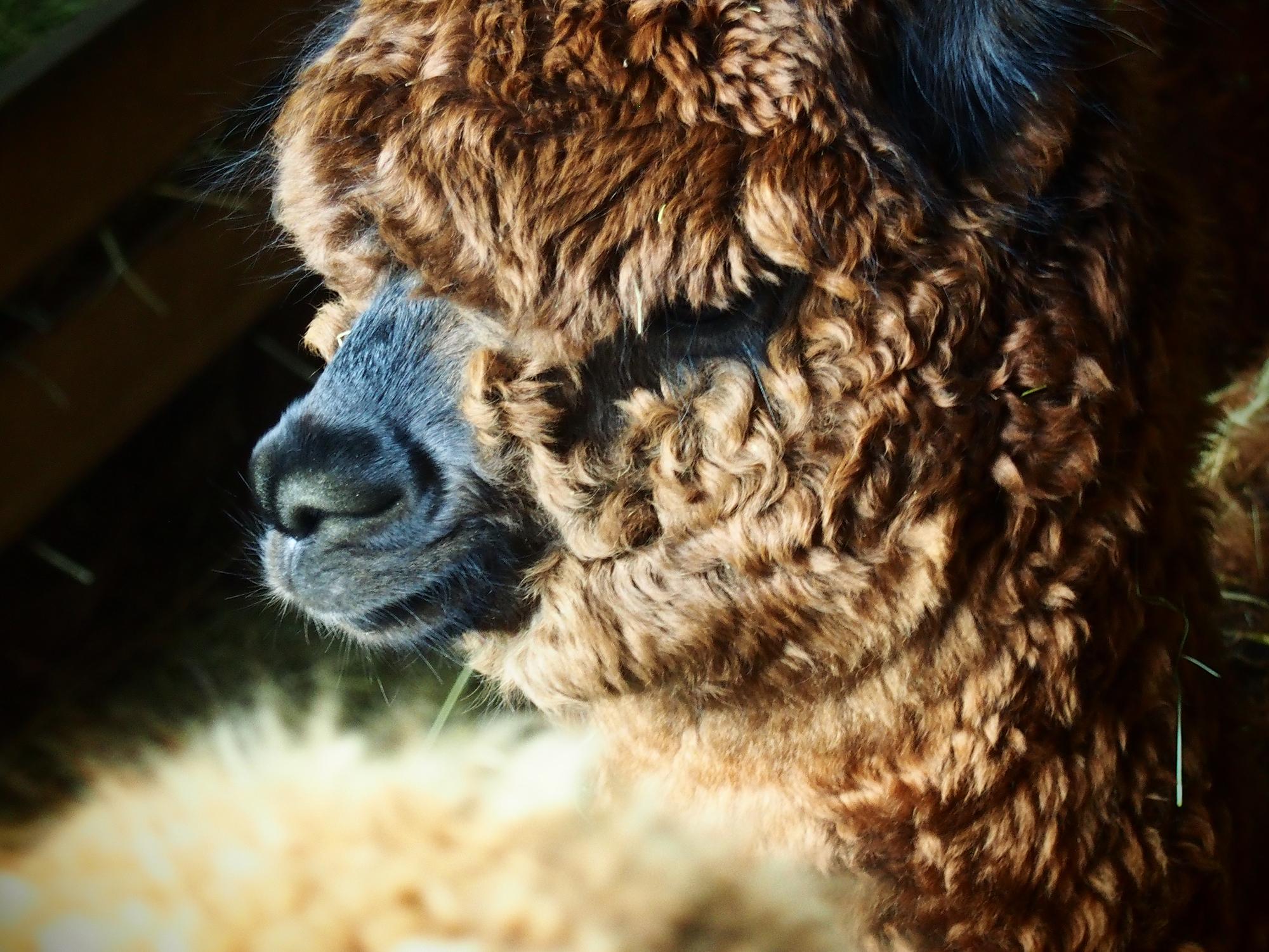 alpaki, hodowla alpak - Alpakarium
