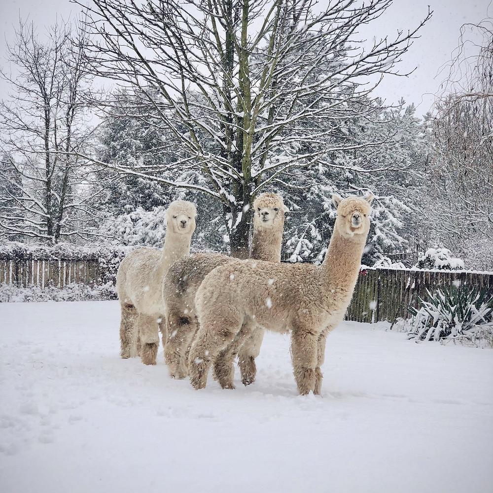 Alpaki z Nowej Zelandii w hodowli Alpakarium