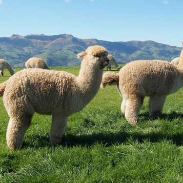Wywiad / Alpakarium i niezwykła podróż do Nowej Zelandii