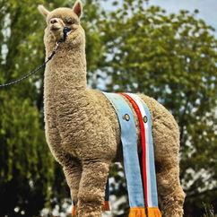 Dziadek Camelot Tor 10 x Supreme Champion Huacaya