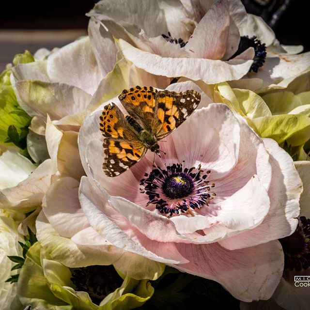 #mammothweddings #mammothstories #sierraweddings #westinmonacheresortmammoth #anemone #redlilydesign