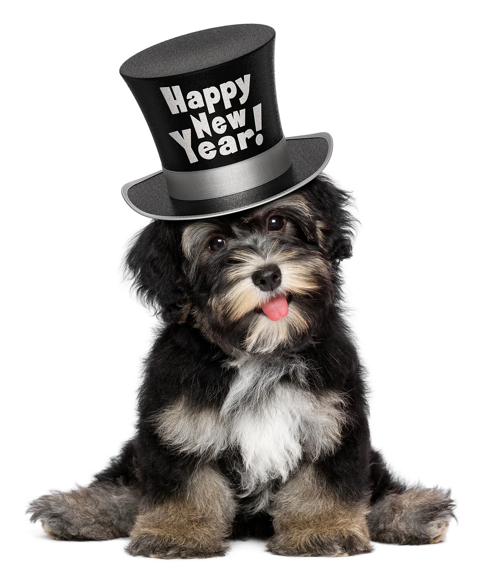 """A Yorkie mix puppy sits with back legs splayed, a soft expression on its face, and tongue hanging out. It is wearing a hat that says """"Happy New Year!"""""""