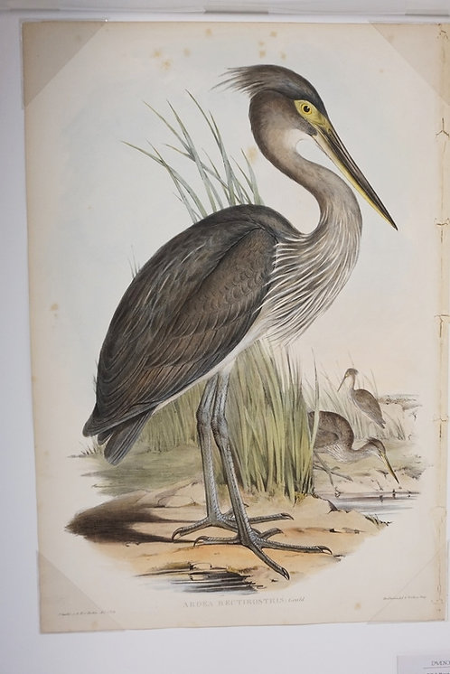 HAND COLORED JOHN GOULD LITHO OF A GREAT BILLED HERON. CA. 1850. PRINTED BY HALL