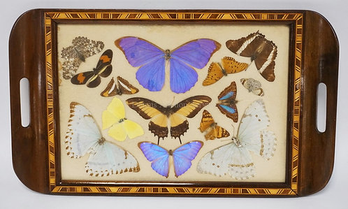 MAHOGANY TRAY DECORATED WITH BUTTERFLIES UNDER GLASS AND AN INLAID BORDER. 18 1/
