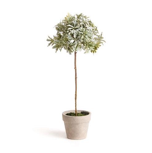 Senecio Potted Topiary