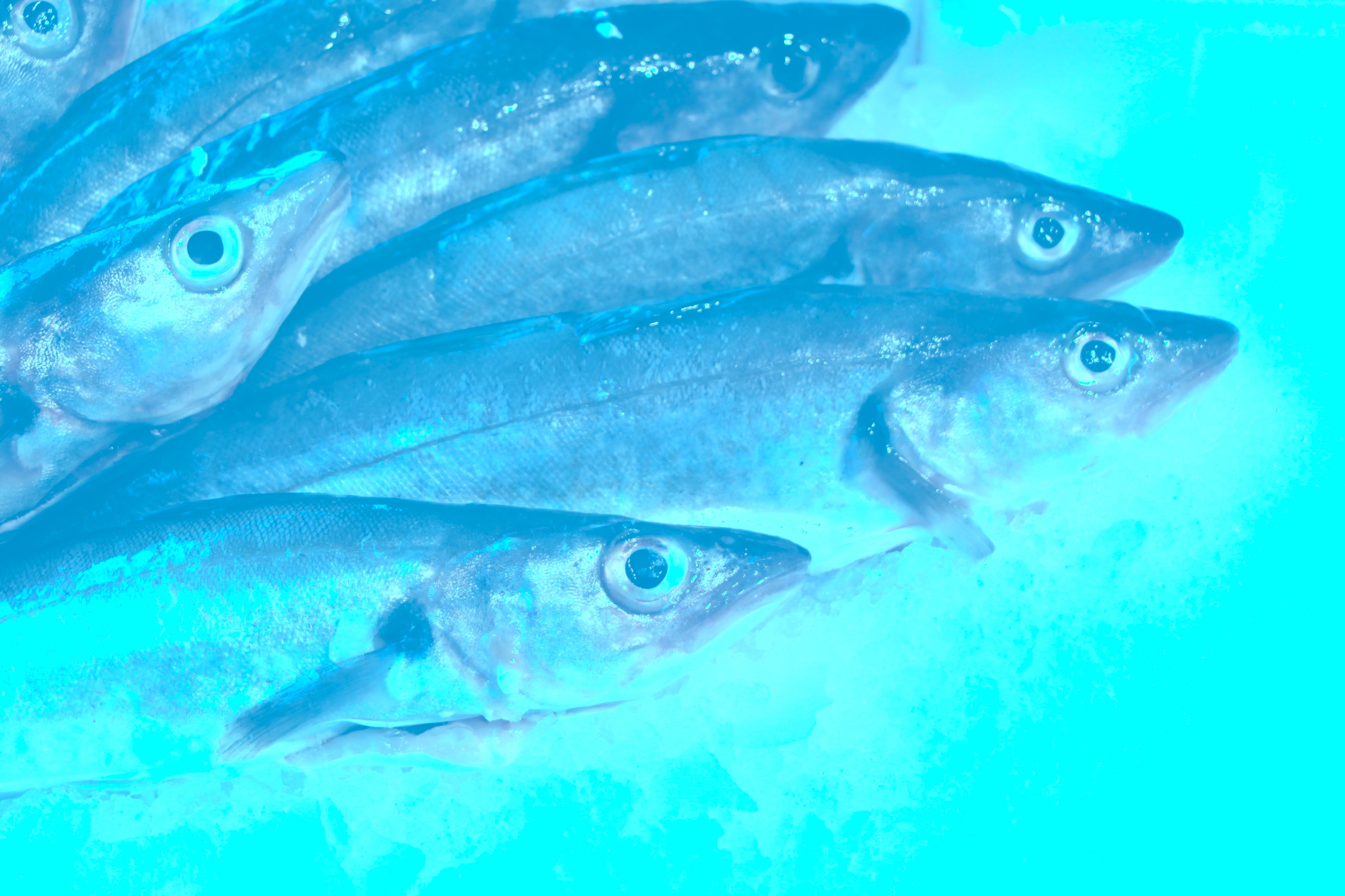 merlan de ligne turquoise