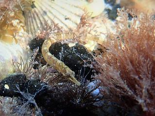 Un nuevo pez aguja o pipefish podría llegar a los acuarios algún día