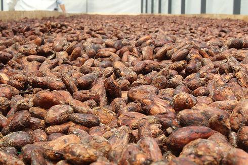 chocosapiens-cocoa-arriba-beans-04.jpg